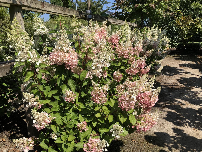 Hortensiabuske Pinky Winky 125-150 cm. Springer ud med hvide blomster som i sensommeren skifter til rosafarvede